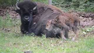 Repeat youtube video Irvine Park baby Bison first couple steps