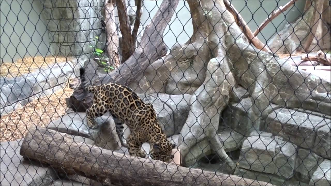 Ixchel   Female Jaguar At The Tulsa Zoo Playing With Boxes