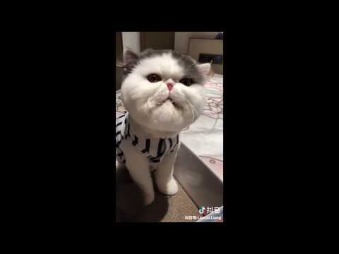 [Tik tok China Douyin] 抖音 可爱猫咪 2019 Funny Cat Videos - 2019