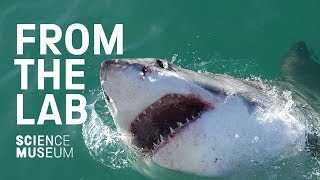 The drones stopping shark attacks