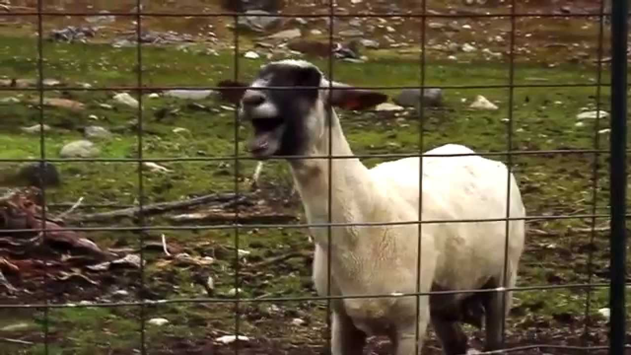 Screaming Sheep Ft Taylor Swift I Knew You Were Trouble Youtube