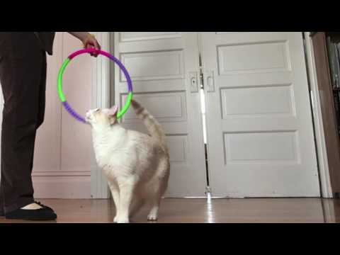 Hoopmania with Henry (Sealpoint) & Walt (Flamepoint) Siamese Mix Cats