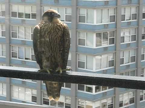 A Noisy Peregrine Falcon Visits My Balcony in Chicago