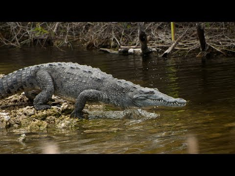 a study of the american crocodile American crocodile lesson summary crocodiles are dangerous and powerful reptiles that live in tropical areas around the world: nile, saltwater, and american crocodiles are some of the largest ones.
