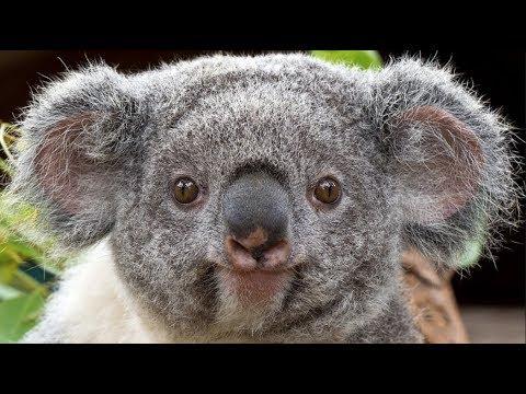 Download Qué Pasa con los Koalas l Mini Documental