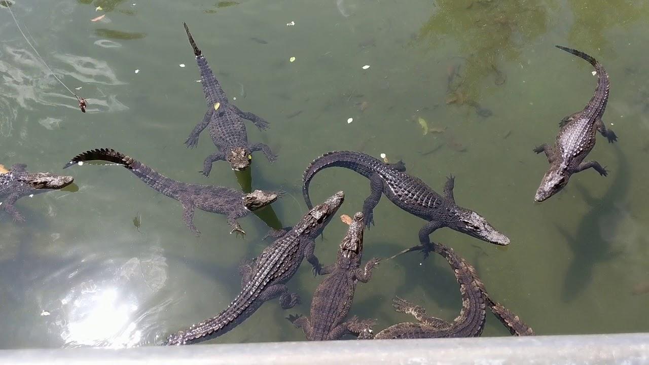 Поймать крокодила на удочку