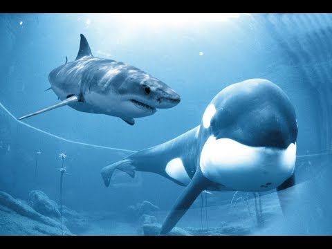 Killer Whale vs Great White Shark Documentary 2014