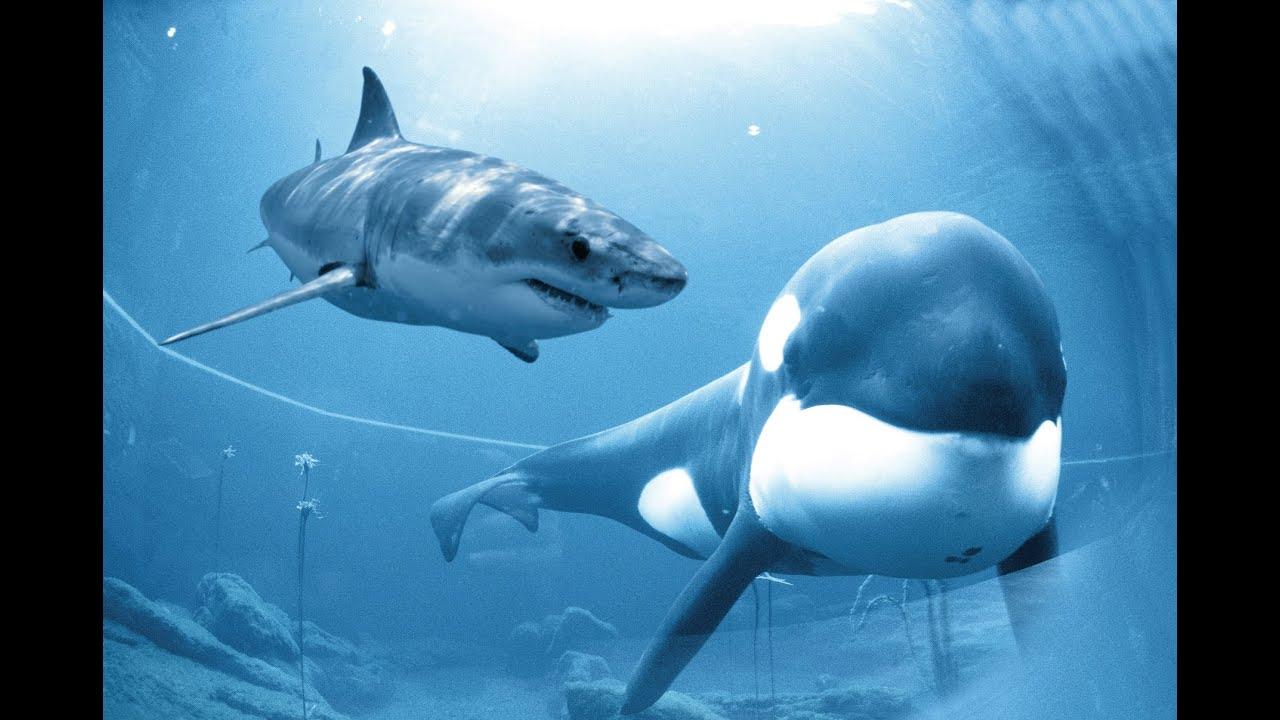 killer whale vs great white shark documentary 2014 - youtube
