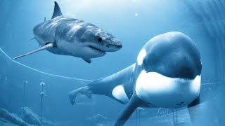 killer whale vs great white shark documentary 2014