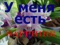 Новая орхидея из Азии. Фаленопсис Tzu Chiang Sapphire blue .