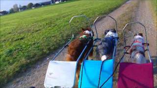 Sacco Wagon Training With 3 Dogs