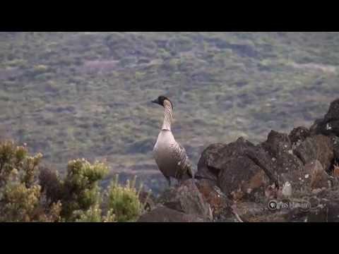 PBS Hawaii - HIKI NŌ Episode 211 | Kamehameha Schools Maui | A Nene