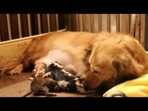 Final Video: Corgi, Dachshund and Maltese puppies in Singapore's breeding kennels