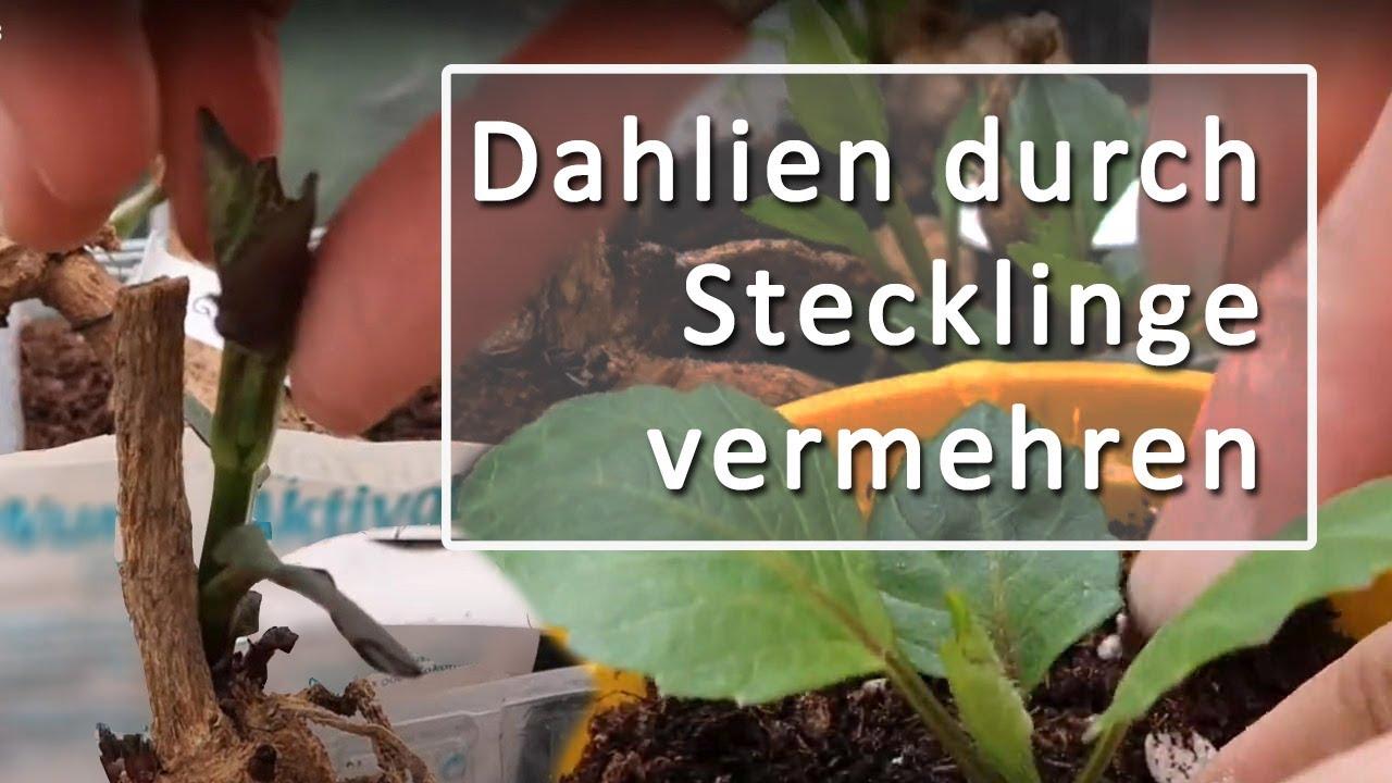 dahlien stecklinge vermehren dahlie vorziehen teil 3 youtube