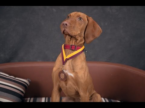 Ruby - Hungarian Vizsla Puppy - 2 Weeks Residential Dog Training