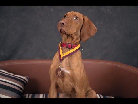 Ruby - Hungarian Vizsla Puppy - 2 Weeks Residential Dog Training