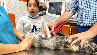 قطة شفا حامل أول مرة تسوي سونار !!Cat Pregnancy Ultrasound