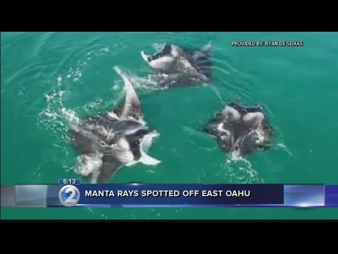 Caught on camera: Manta rays circle in waters off Windward Oahu