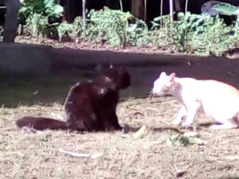 Kucing Hutan Vs Kucing Warteg Funnydog Tv