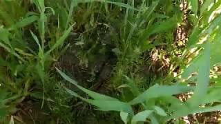 Обзор посевов 01.05.18 пшеницы сорт Эра Одеська после обработки гербицидом+ фунгицид+МЕ+карбамид