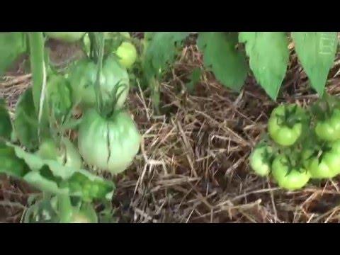 Растения в теплице на 16 07 2014