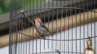 Download Mp3 Burung Kemade Ngeplong Seperti Di Liar