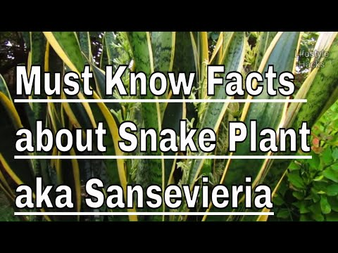 Must Know Facts about Snake Plant - aka Sansevieria or Bowstring-hemp