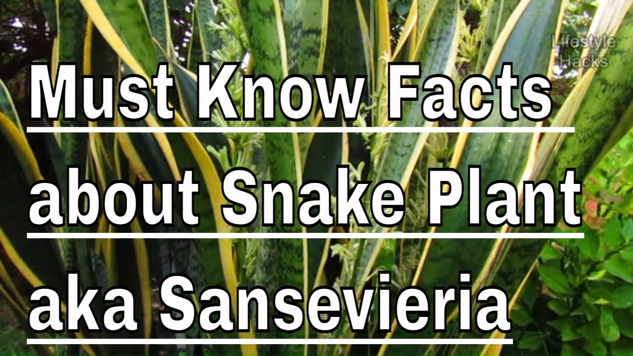 Must Know Facts About Snake Plant Aka Sansevieria Or Bowstring