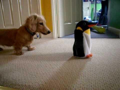 Dachshund Vs. Penguin