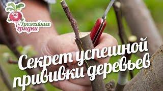 Секрет успешной прививки деревьев #urozhainye_gryadki