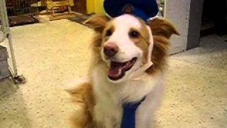 看板犬ボーダーコリーのチャイが犬のおまわりさん(警察官)に扮して店内...