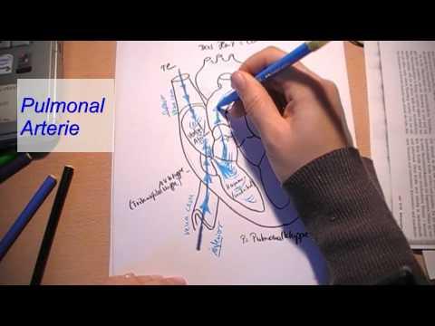 Das Herz -Blutkreislauf