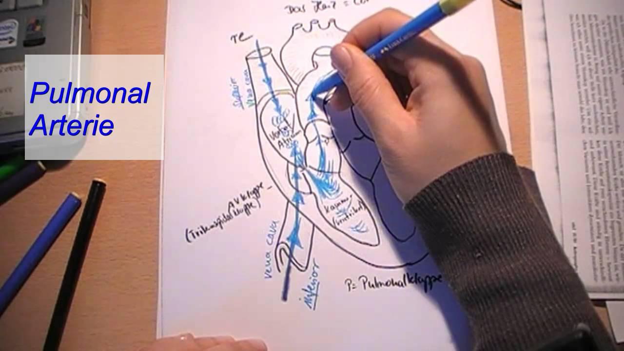 Das Herz -Blutkreislauf - YouTube