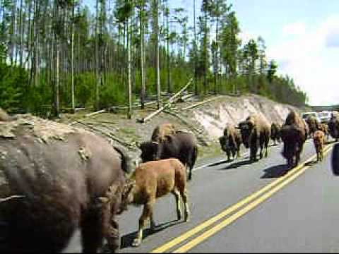 Huge Bison Stampede - Yellowstone