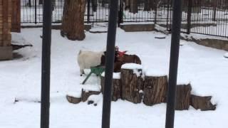 Европейский муфлон (European moufflon), Винторогий козел (Markhoor)