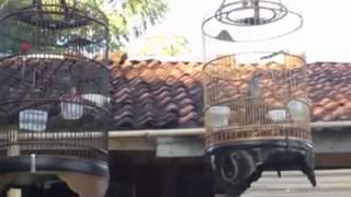 Kicauan Burung Kecial Kombo Part.1