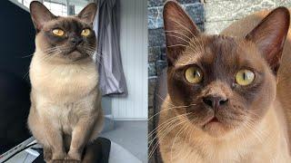 BURMESE CATS 2021