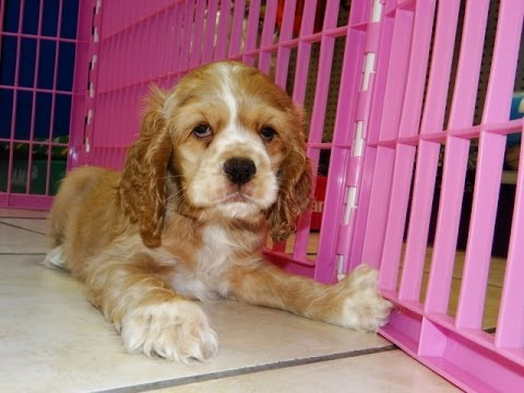 Cocker Spaniel Puppies Dogs For Sale In Birmingham Alabama Al