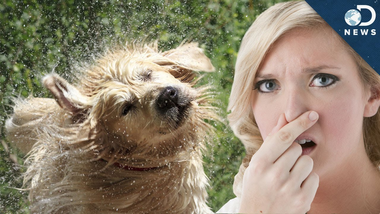 Why Do Wet Dogs Smell So Bad? - YouTube