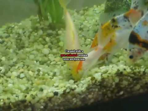 2fde397b1f6b Goldfish Dance - YouTube