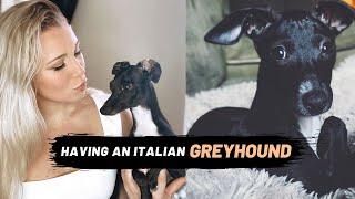 Having an Italian Greyhound