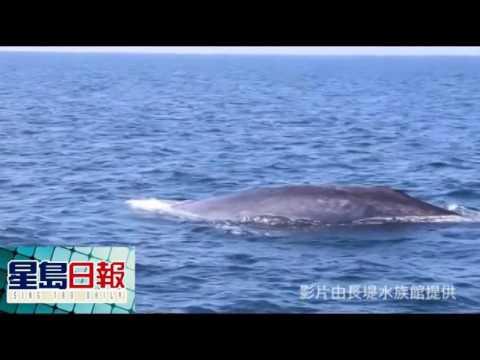 賞鯨季節 找尋瀕臨絕種藍鯨 - YouTube