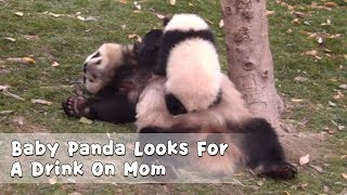 Baby Panda Looks For A Drink On Mom | iPanda