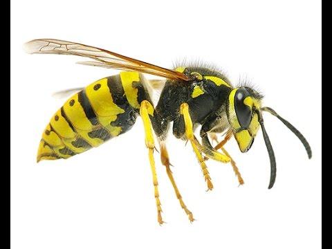 Как облегчить боль от укуса осы в домашних условиях