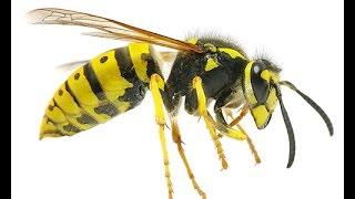 Как снять опухоль при укусе осы| #осаукус #укусилаоса #edblack