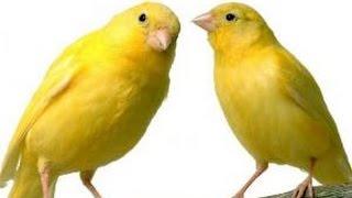 # canto de canarios 1