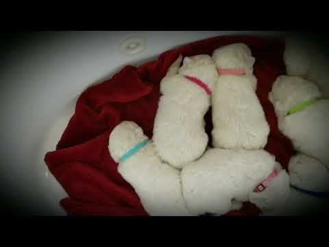 Adorable Maremma Sheepdog Puppies