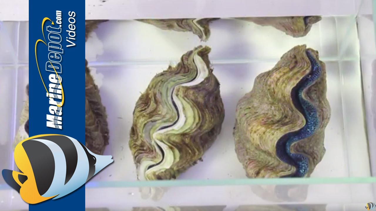How To Care For Tridacna Clams In Your Saltwater Aquarium Youtube