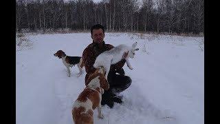 Охота на зайца с Эстонской гончей!!!Часть 4я