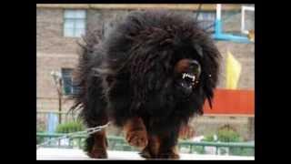 Tibetan Mastiff History
